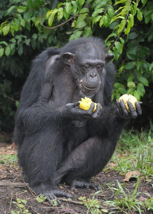 Adada açlığa terk edilen şempanzeler, ellerindeki sınırlı miktardaki yemeklerini de paylaşıyorlar-4