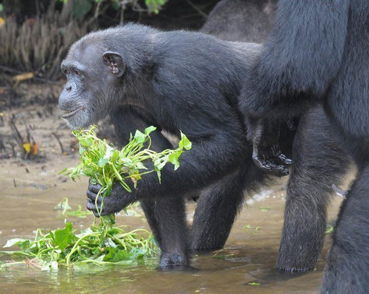 Adada açlığa terk edilen şempanzeler, ellerindeki sınırlı miktardaki yemeklerini de paylaşıyorlar-5