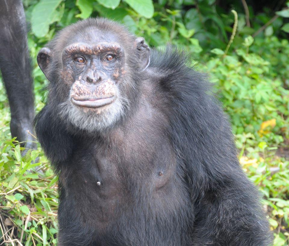 Adada açlığa terk edilen şempanzeler, ellerindeki sınırlı miktardaki yemeklerini de paylaşıyorlar-6