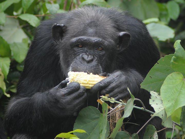 Adada açlığa terk edilen şempanzeler, ellerindeki sınırlı miktardaki yemeklerini de paylaşıyorlar-7