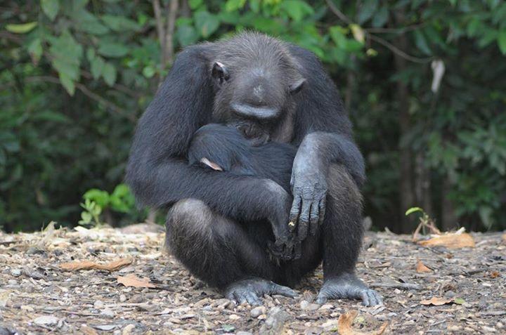 Adada açlığa terk edilen şempanzeler, ellerindeki sınırlı miktardaki yemeklerini de paylaşıyorlar-8