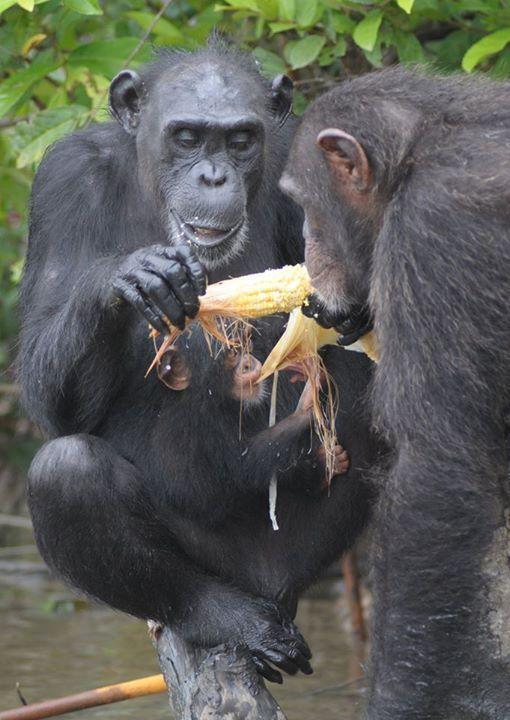 Adada açlığa terk edilen şempanzeler, ellerindeki sınırlı miktardaki yemeklerini de paylaşıyorlar-9