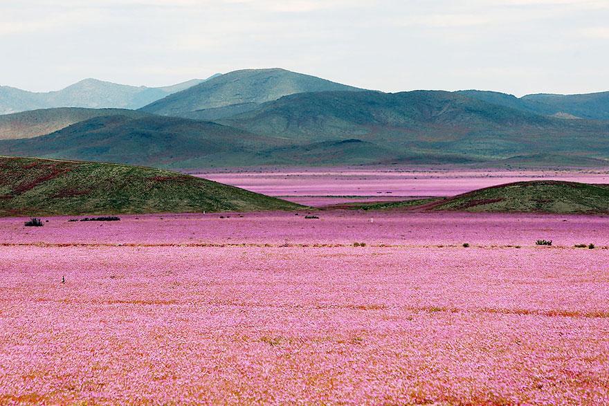 Atacama, yağmur sonrası açan çiçekler 1
