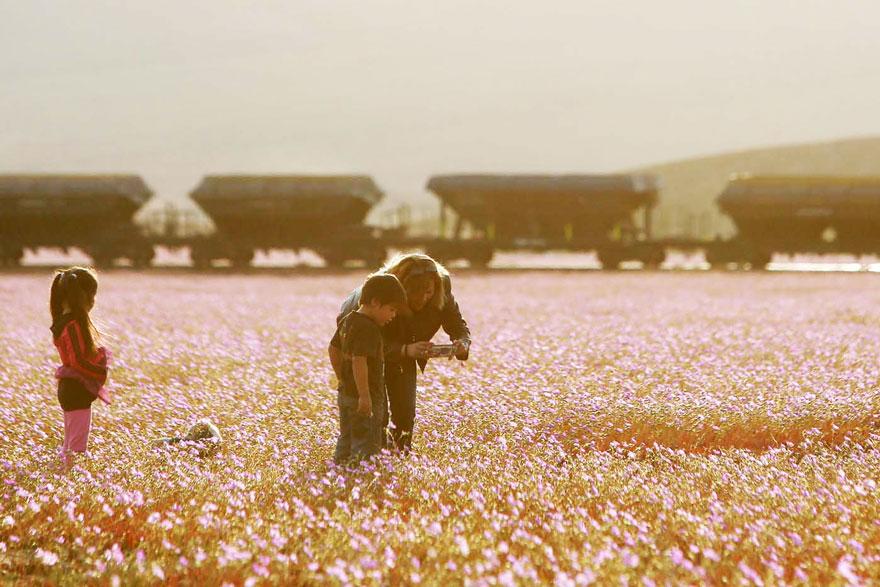 Atacama, yağmur sonrası açan çiçekler 2