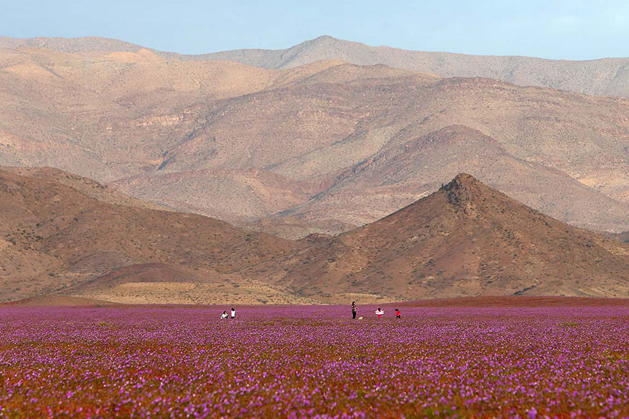 Atacama, yağmur sonrası açan çiçekler 3