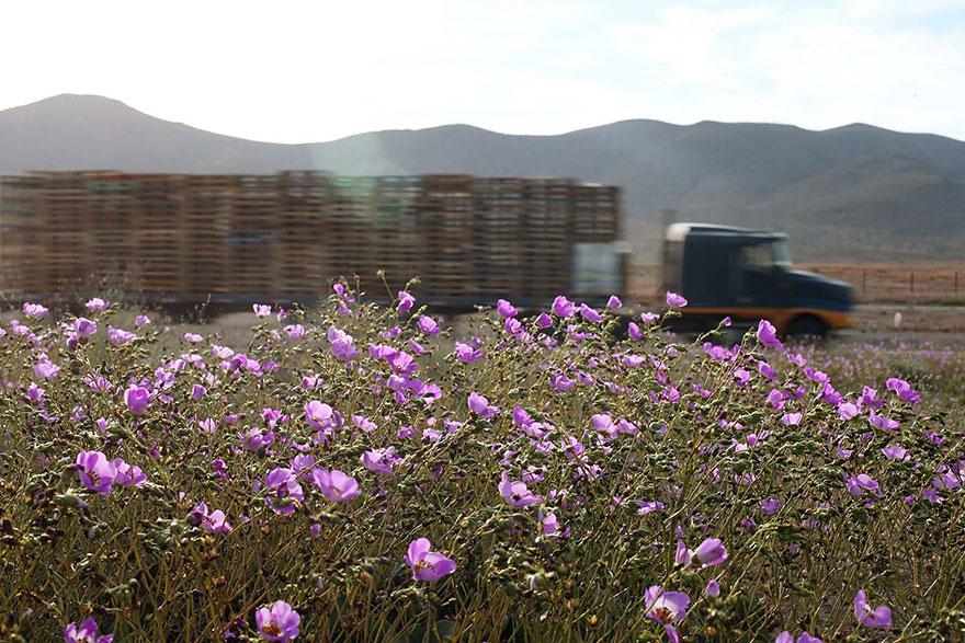 Atacama, yağmur sonrası açan çiçekler 7