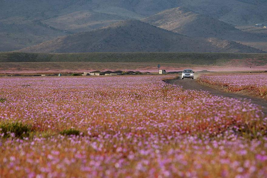 Atacama, yağmur sonrası açan çiçekler 8