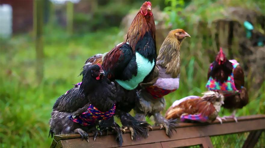 25 yaşındaki Nicola, endüstriden kurtardığı tavuklara rengârenk yelekler örüyor