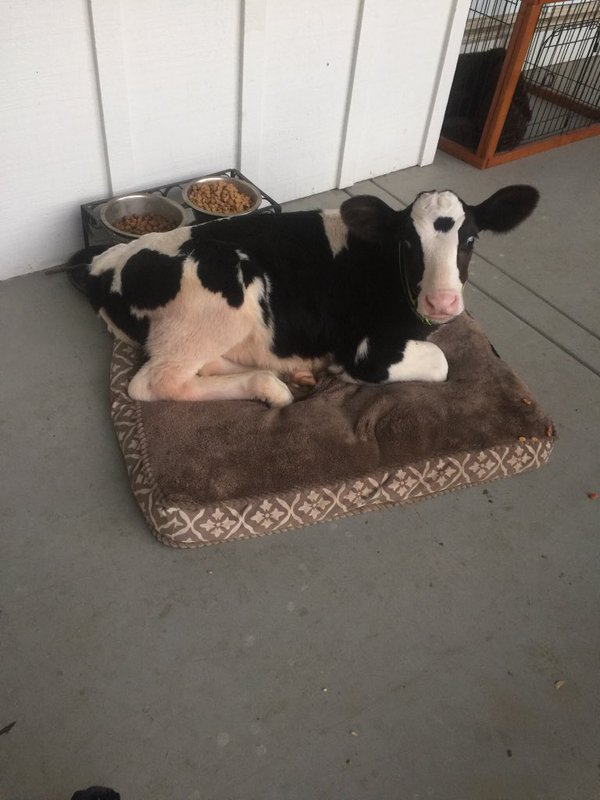 baby cow goliath 1