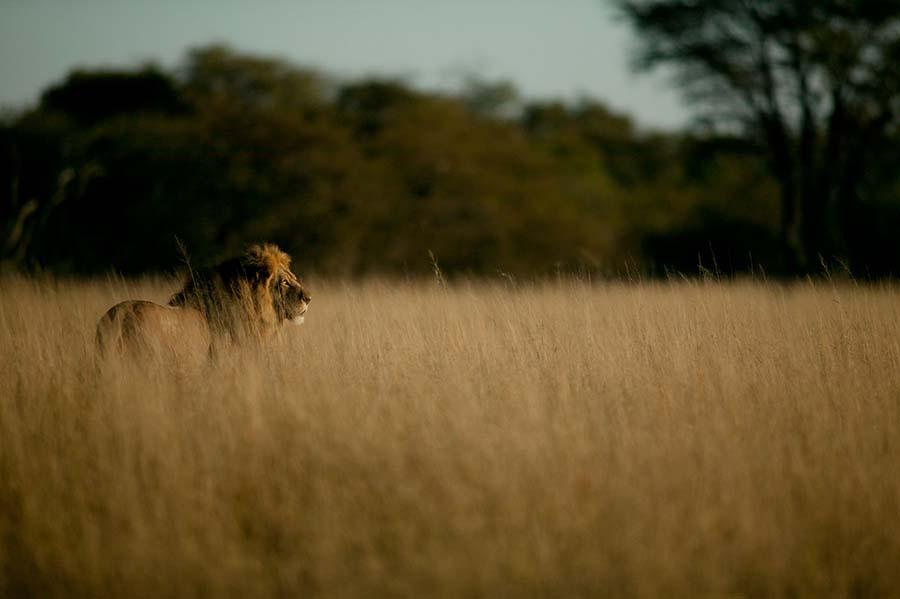 aslan avı yasaklanıyor
