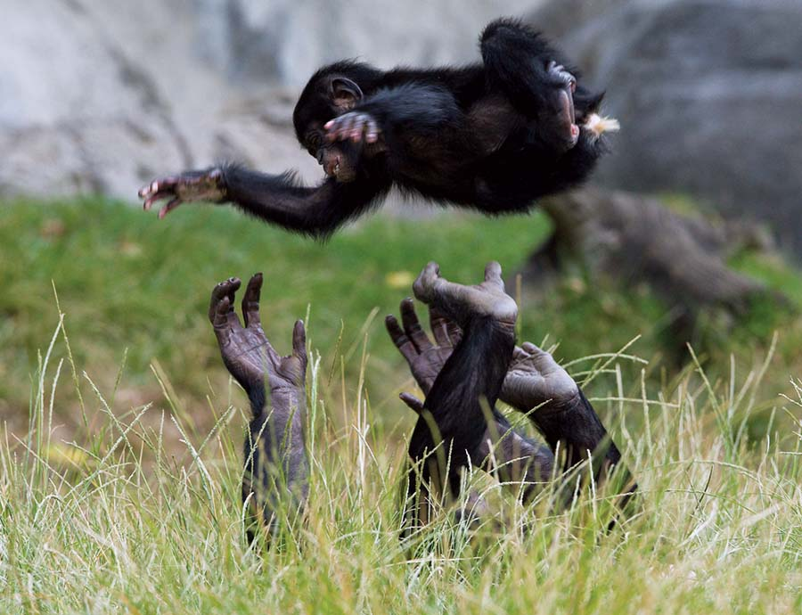 chimpanzees in morality