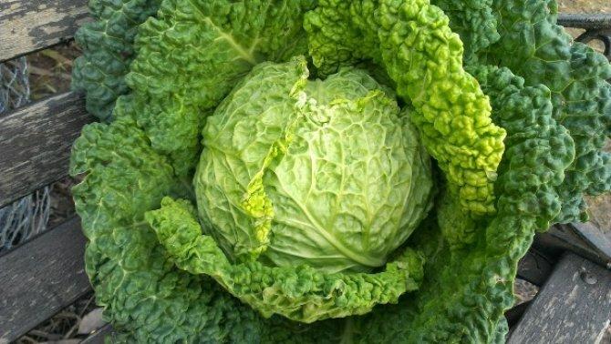 kıvırcık lahana