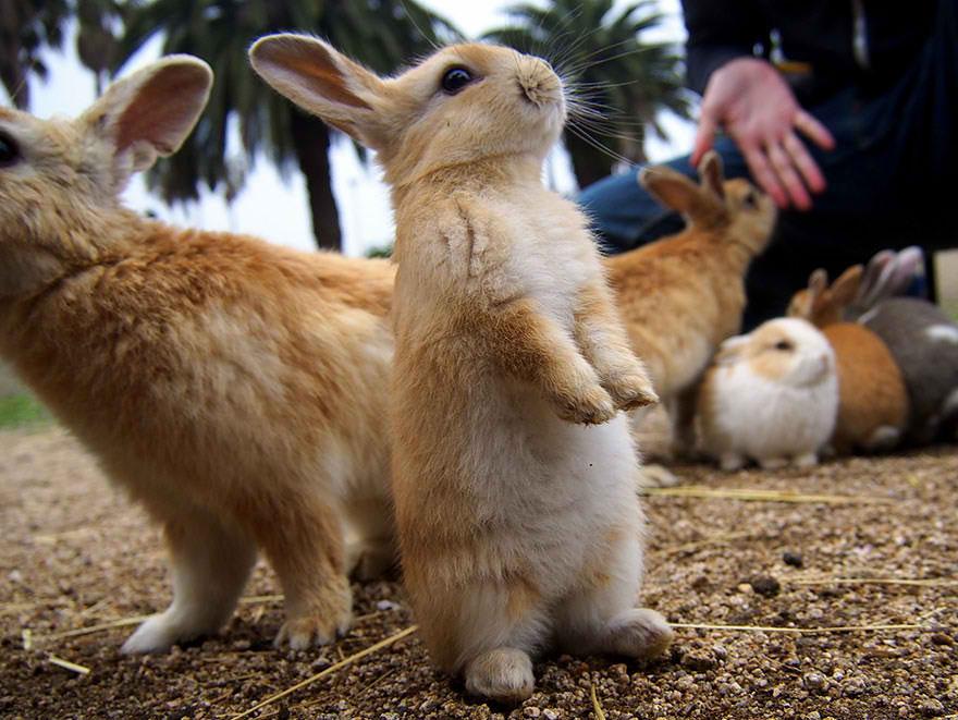 okunoshima-rabbit-island-3