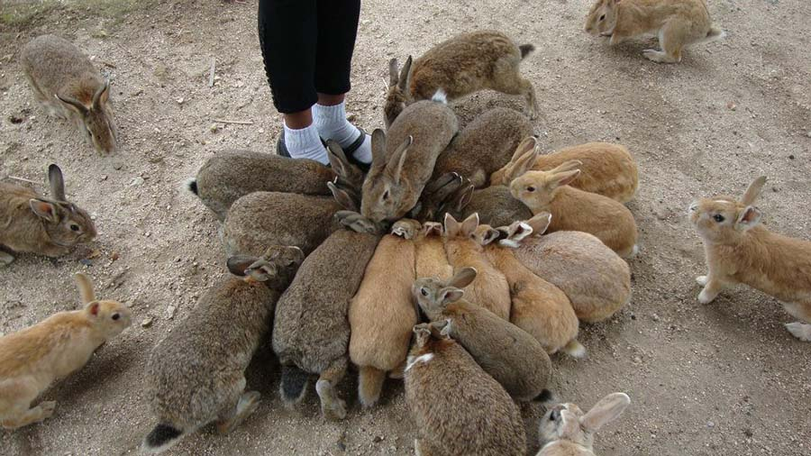 okunoshima-rabbit-island-4