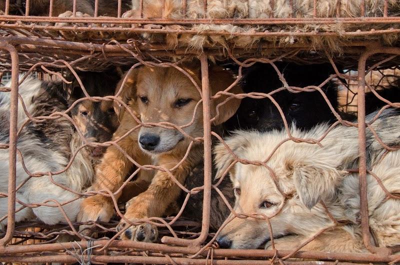 vietnam, noel, köpek katliamı 3