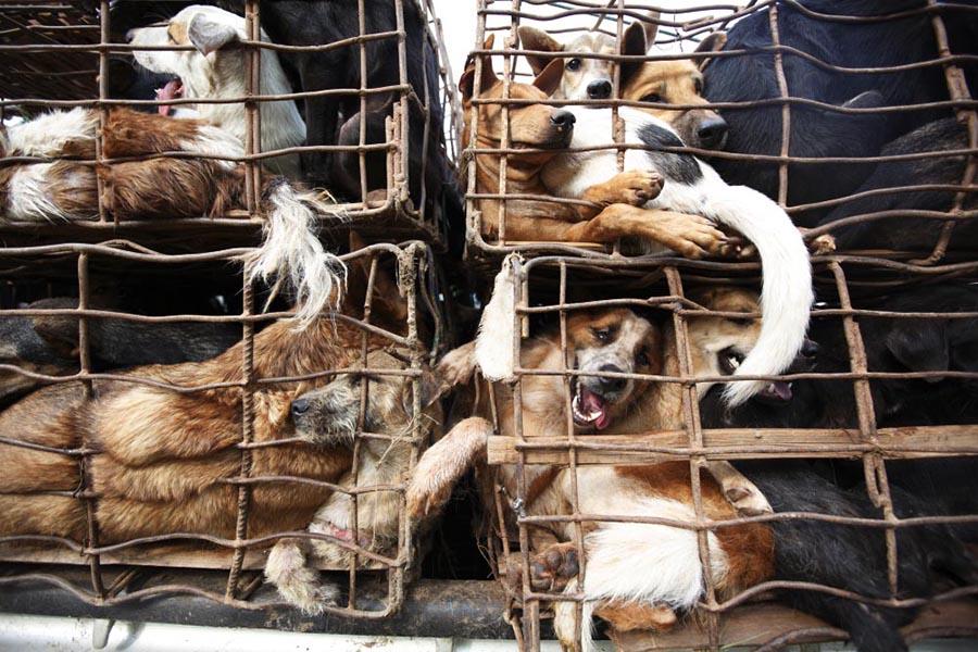 vietnam, noel, köpek katliamı 4