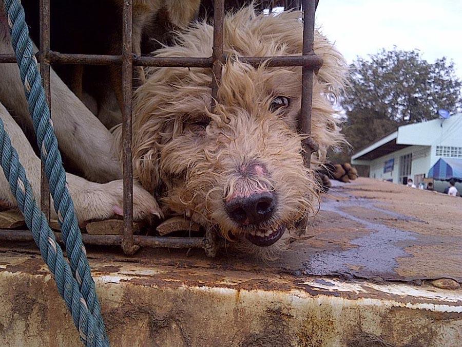 vietnam, noel, köpek katliamı 5
