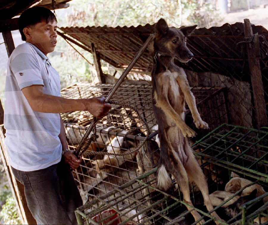A man hooks a dog from it's cramped cage April 3 before it is butchered and sold in nearby restaurants serving dog meat delicacies in this northern Philippines province of Benguet. A dog costs from 500 pesos to 1000 pesos (US dollars 20-40