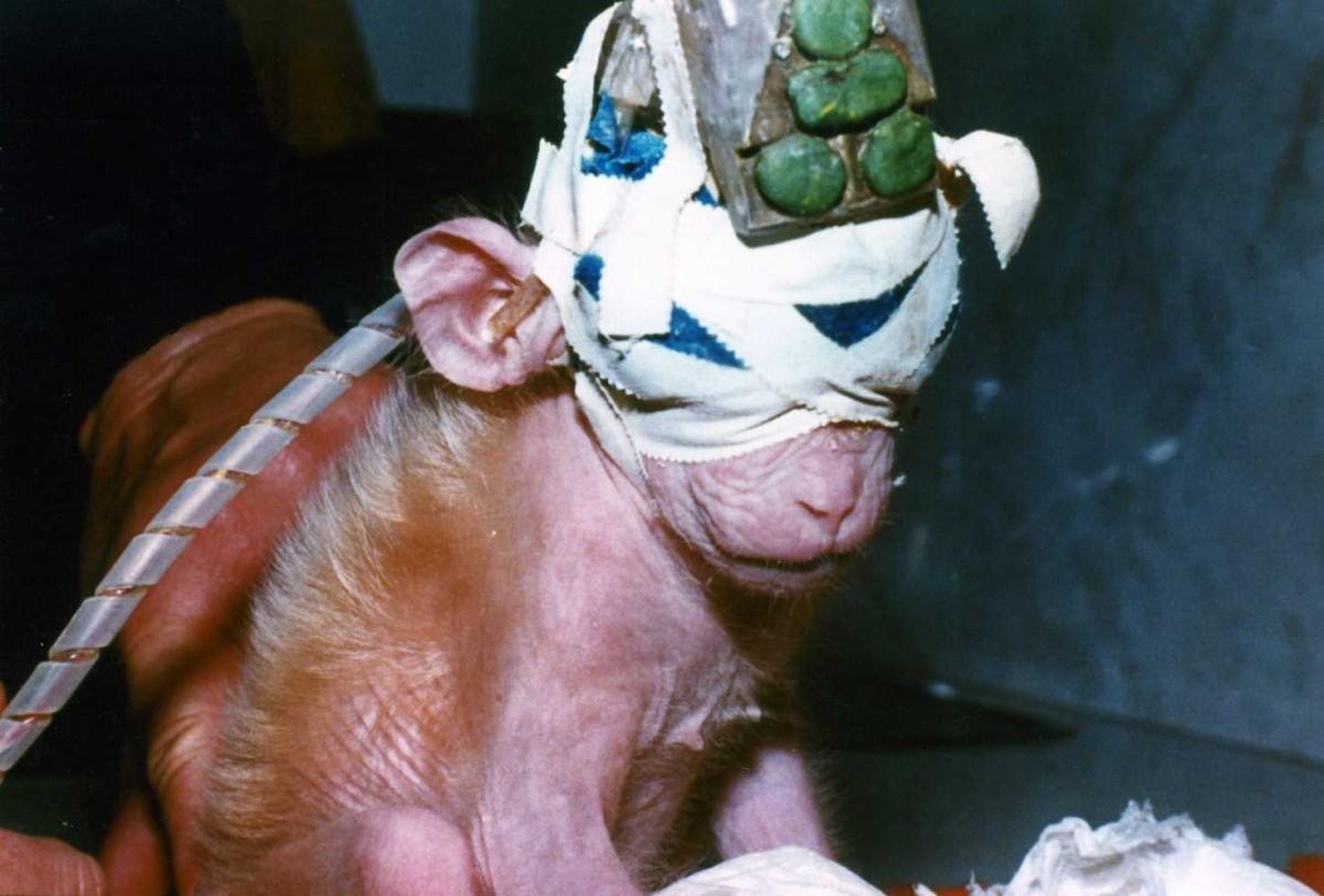 ALF tarafından kurtarılmış maymun