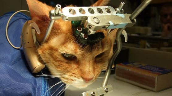 Deney kurbanİ kedi