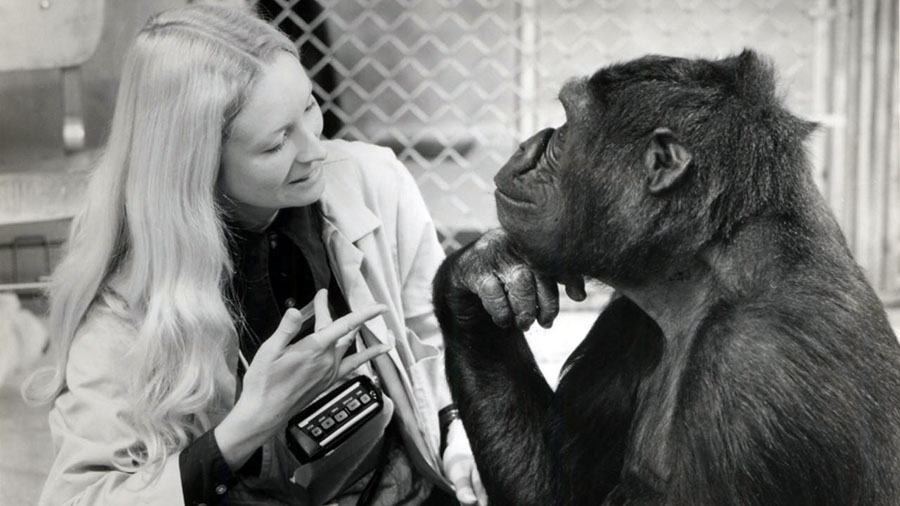 Koko Goril