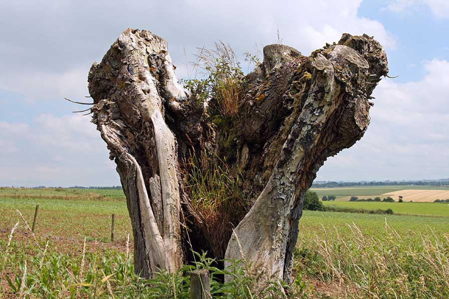ölü ağaç 5.