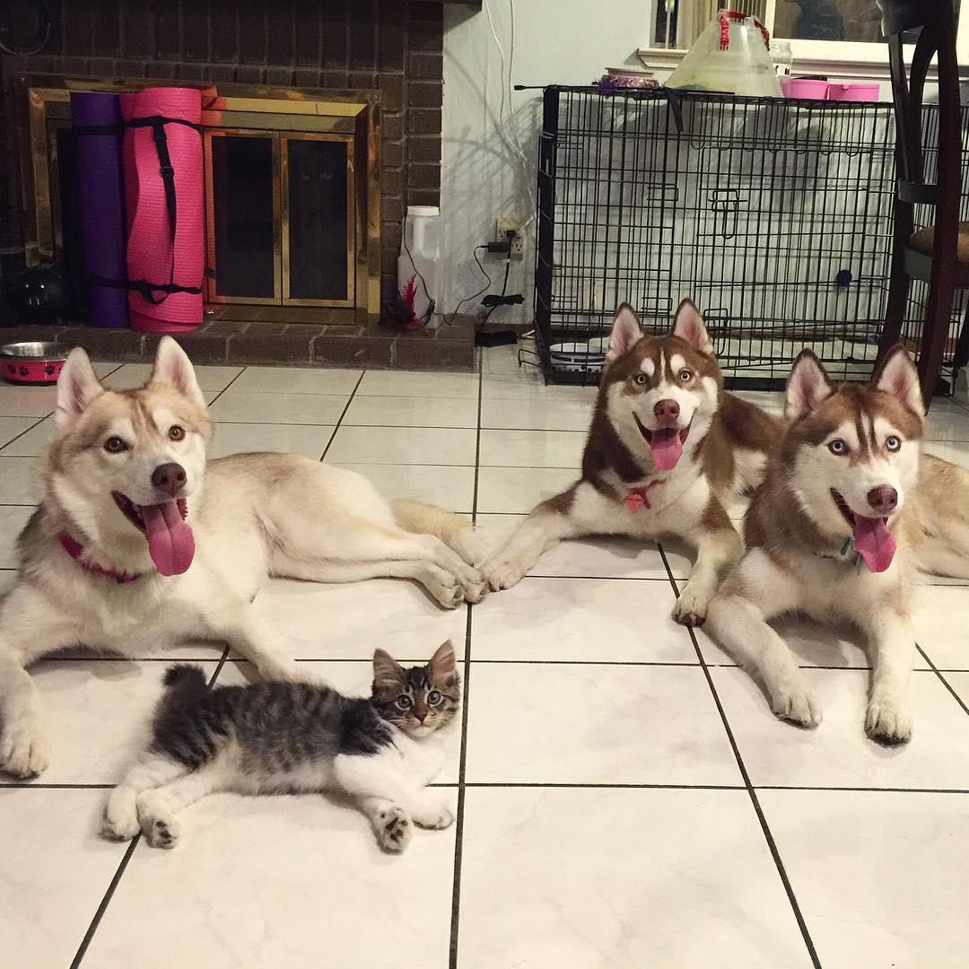 3 Sibirya Kurdu ve Kedi 2