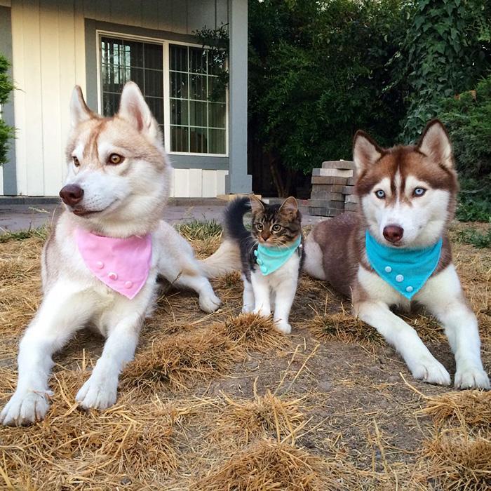 3 Sibirya Kurdu ve Kedi 9