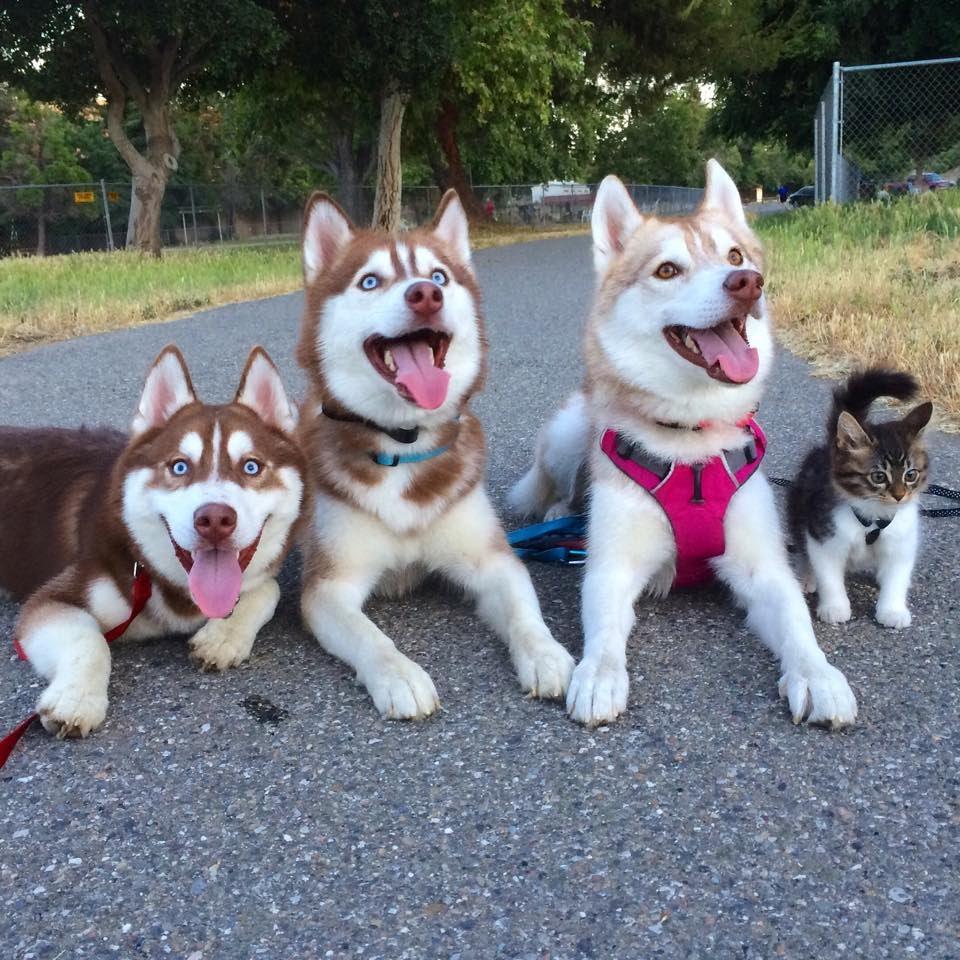 3 Sibirya Kurdu ve Kedi