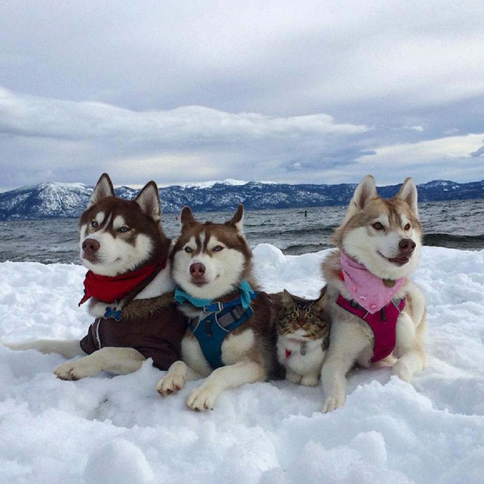 3 Sibirya Kurdu ve Kedi3