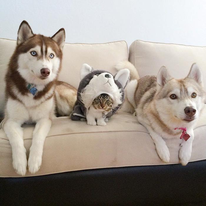 3 Sibirya Kurdu ve Kedi4