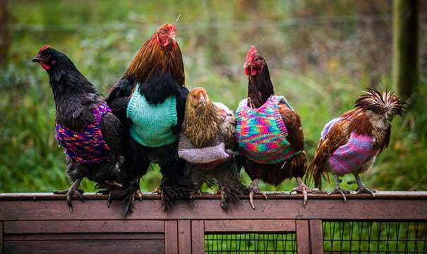 #40 Kurtardığı tavuklara süveter ören kadın