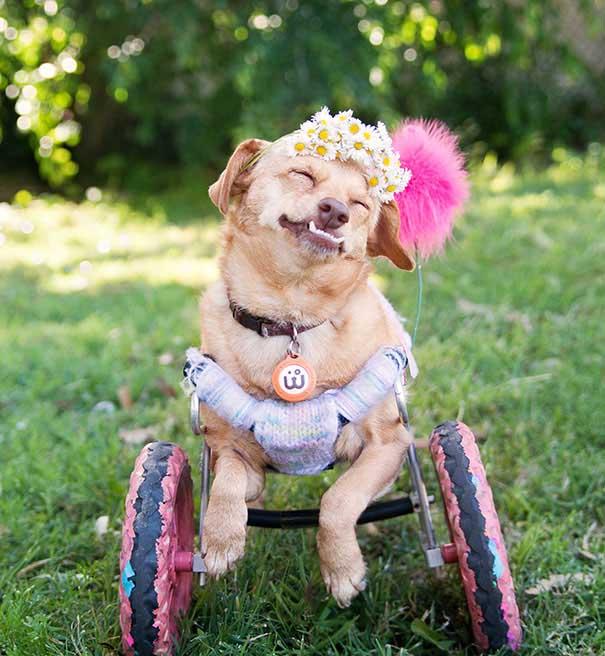 #42 Ötanaziden kurtulan köpeğe yeniden hareket etme fırsatı veren özel tekerlekler