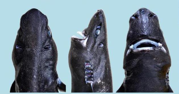 Gözde Yeşiltepe-Neden bu yeni keşfedilen köpekbalığına ninja deniyor-3