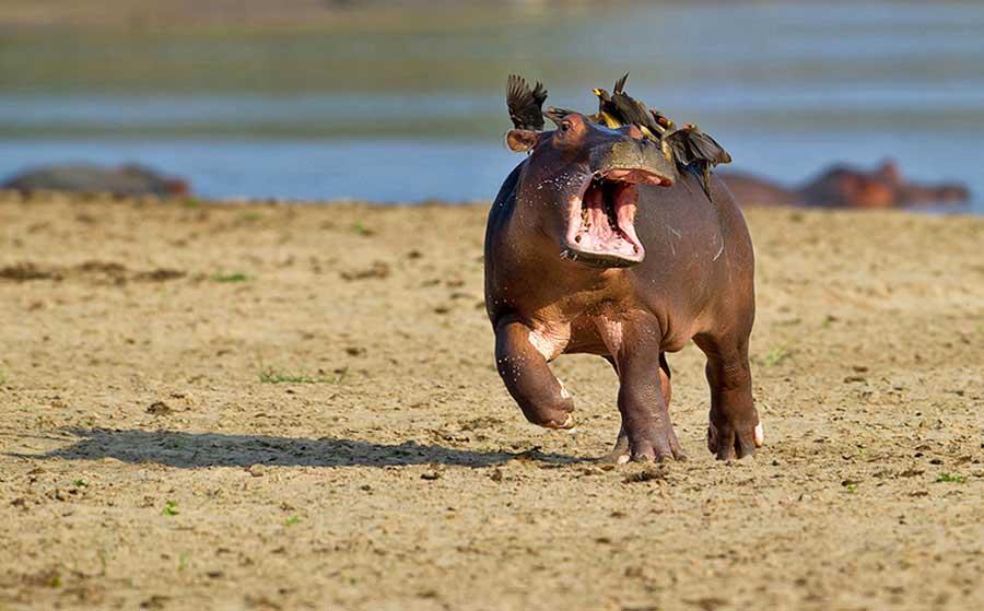 """HIGHLY COMMENDED Comedy Wildlife Photography Awards  Gülümsemeye ihtiyacımız var. Komik vahşi yaşam fotoğraf yarışmasından """"en komik"""" 13 fotoğraf Komik Vahs CC A7i Yas CC A7am Foto 9"""