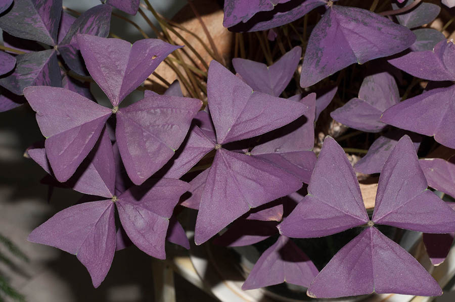 Love Plant, Purple Shamrock (Oxalis triangularis)