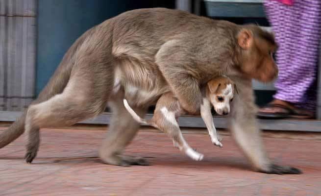 Yavru köpeği evlat edinen maymun 3