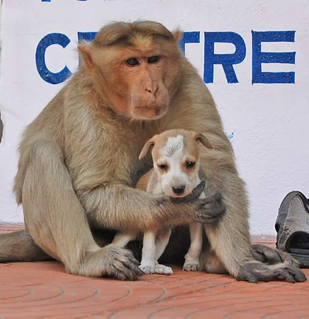 monkey-adopts-puppy-erode-india-4