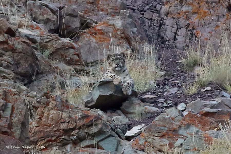 Kar leoparını ilk bulduğumuz an bize olan bakışı