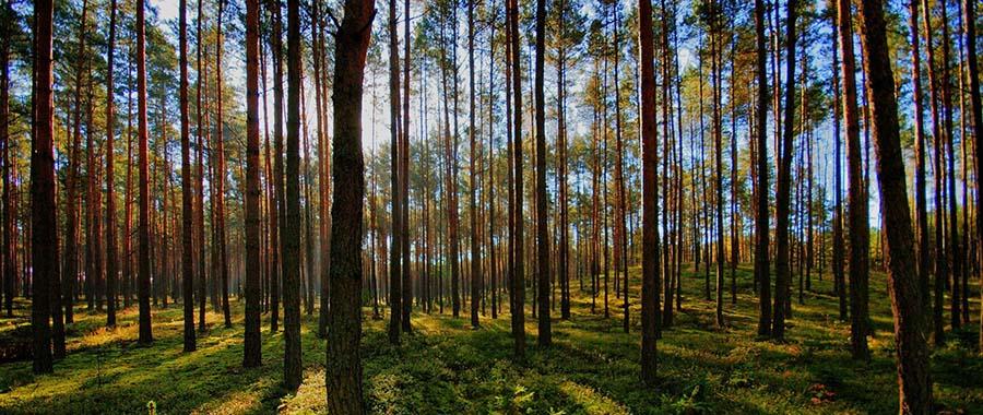 orman ağaçları 2