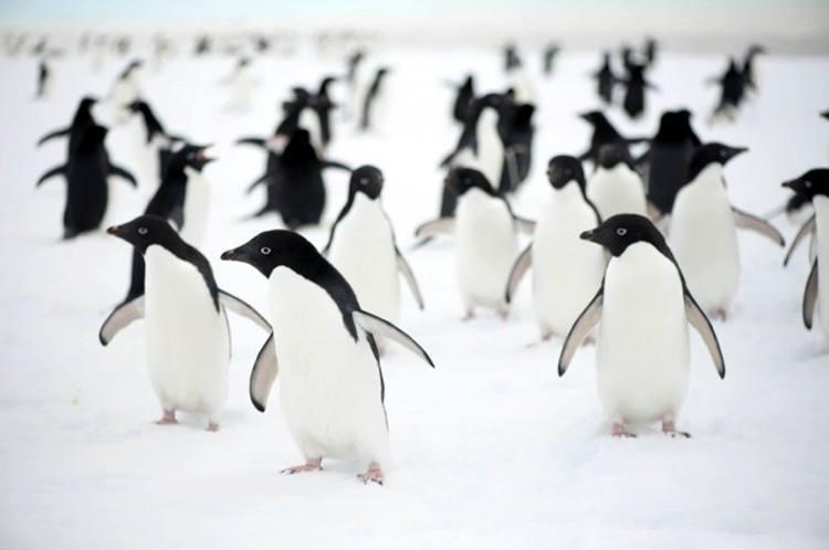 Bu adelie penguenleri deniz buzu kıyısı boyunca yayılıyorlar ancak okyanustan çok uzakta sıkışıp kalınca ne yazık ki ölüyorlar. Fotoğraf: Annette Turney / Australian Antarctic Expedition 2013-14.