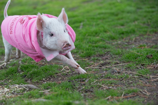 sweet little rescued pig has no idea she has not a sheep 1