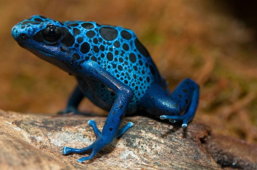 14 Mavi zehirli ok kurbağası