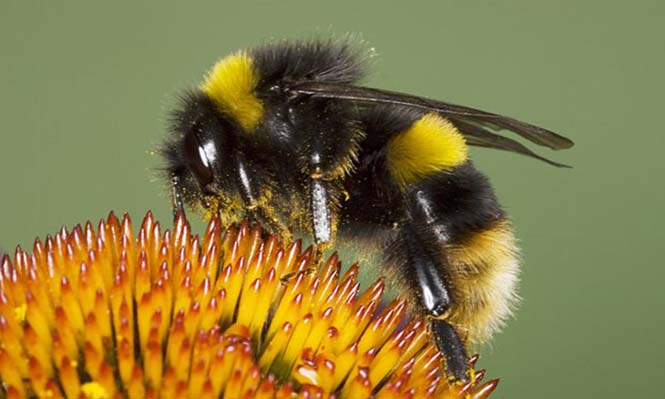 A-buff-tailed-bumblebee