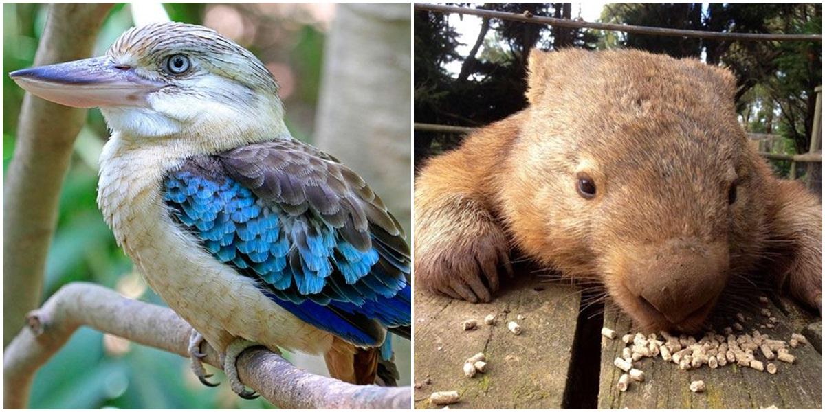 avustralya nın en sevimli 10 hayvanı