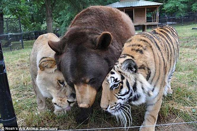 hayvan dostluğu 1 Kaplan, aslan ve ayının Kaplan, aslan ve ayının 15 yıllık dostluğu hayvan dostlu C4 9Fu 1