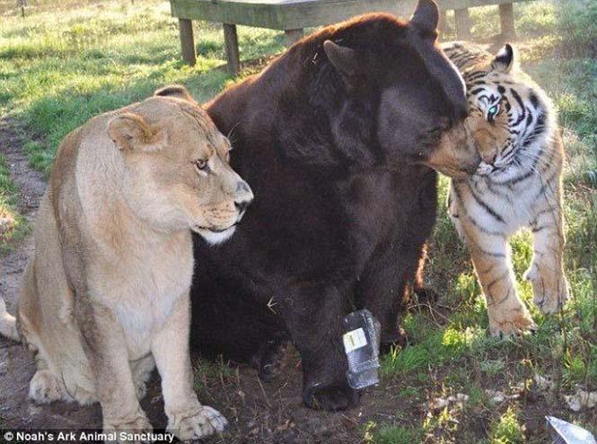 hayvan dostluğu 2 Kaplan, aslan ve ayının Kaplan, aslan ve ayının 15 yıllık dostluğu hayvan dostlu C4 9Fu 2