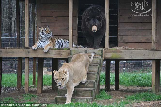 hayvan dostluğu 3 Kaplan, aslan ve ayının Kaplan, aslan ve ayının 15 yıllık dostluğu hayvan dostlu C4 9Fu 3