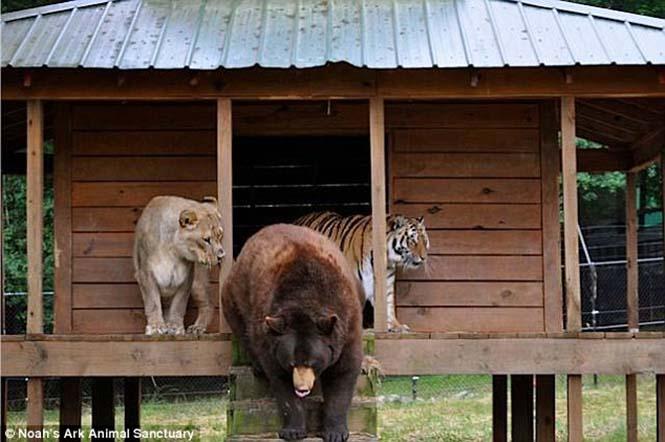 hayvan dostluğu 4 Kaplan, aslan ve ayının Kaplan, aslan ve ayının 15 yıllık dostluğu hayvan dostlu C4 9Fu 4
