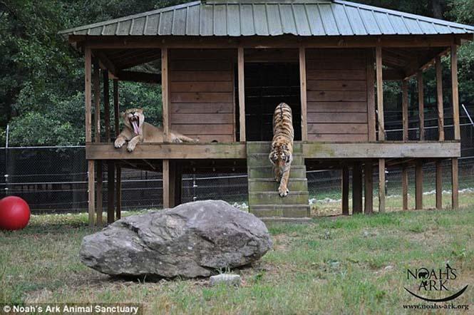 hayvan dostluğu 5 Kaplan, aslan ve ayının Kaplan, aslan ve ayının 15 yıllık dostluğu hayvan dostlu C4 9Fu 5